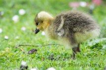231-Gosling-Greylag Goose