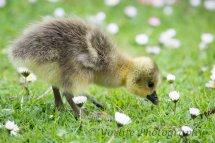232-Gosling-Greylag-Goose