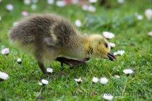 233-Gosling-Greylag-Goose