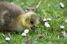 234 Gosling-Greylag-Goose