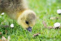 235 Gosling Greylag Goose