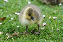 236 Gosling Greylag Goose