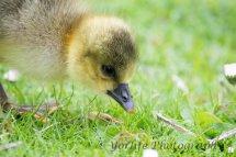 237-Gosling Greylag Goose