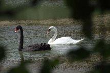 250-Black & White Swans