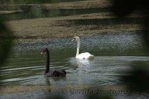 251-Black & White Swans