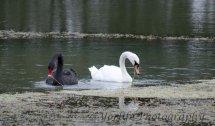 252- Black & White Swans
