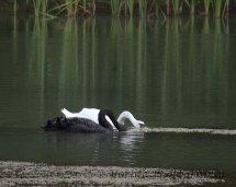 253-Black & White Swans