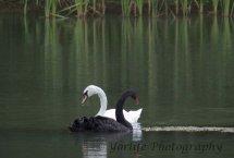 254-Black & White Swans