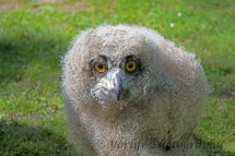 302 Baby Eagle Owl