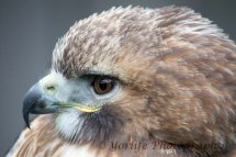 313 Red Tailed Hawk
