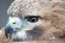 314 Red Tailed Hawk