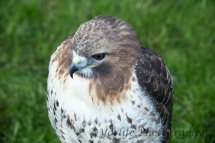 316 Red Tailed Hawk