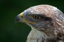 319 Red Tailed Hawk