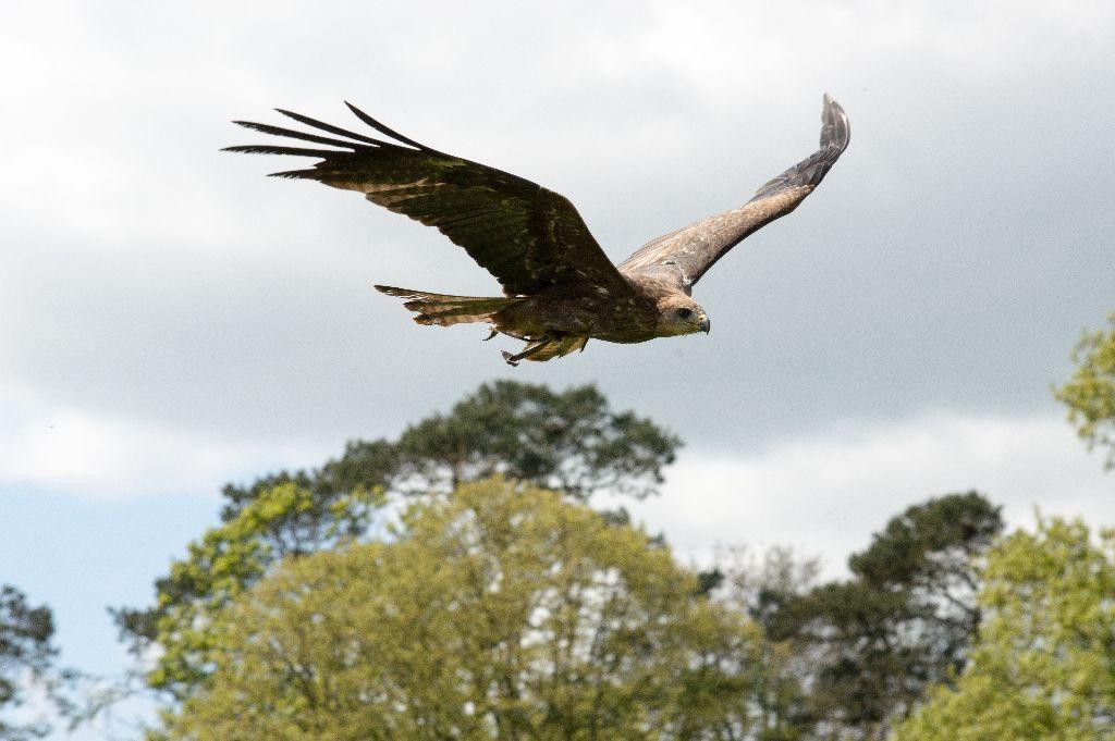 333 Black Kite