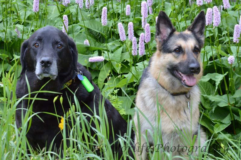 76-German Sheperd & Labrador