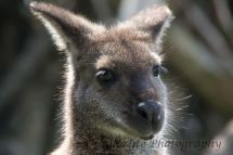 39 Wallaby