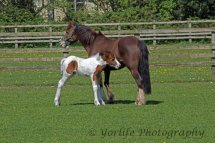 411-Horse & Foal