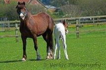 412-Horse & Foal