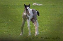413-Foal