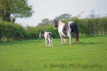 417-Horse & Foal