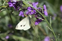 43-Small White Butterfly