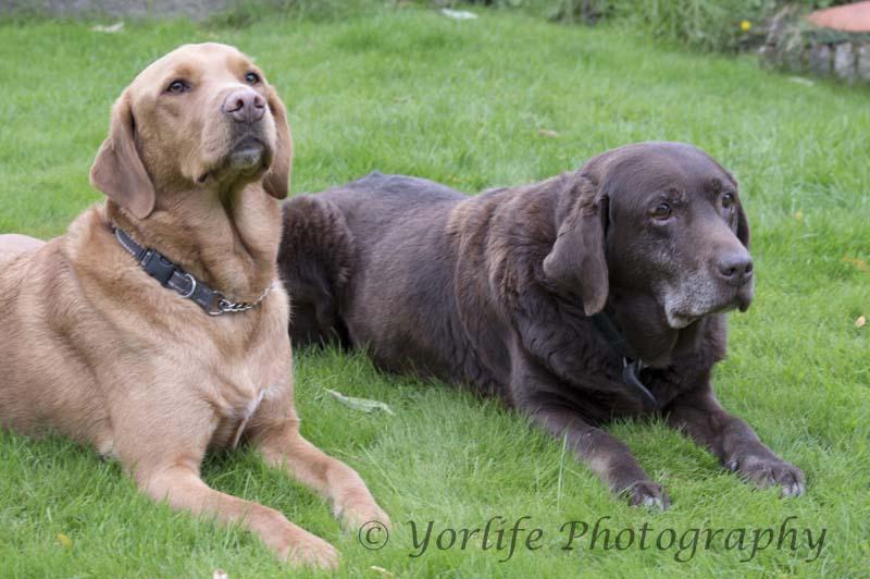 45-Two Labradors