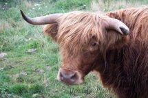 451-Highland Bull