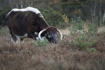 53 Long Horned Cattle