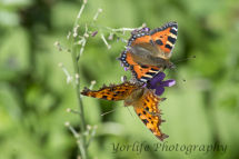 8 Comma  Butterfly & Small Tortoise Shell