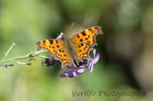 9 Comma  Butterfly