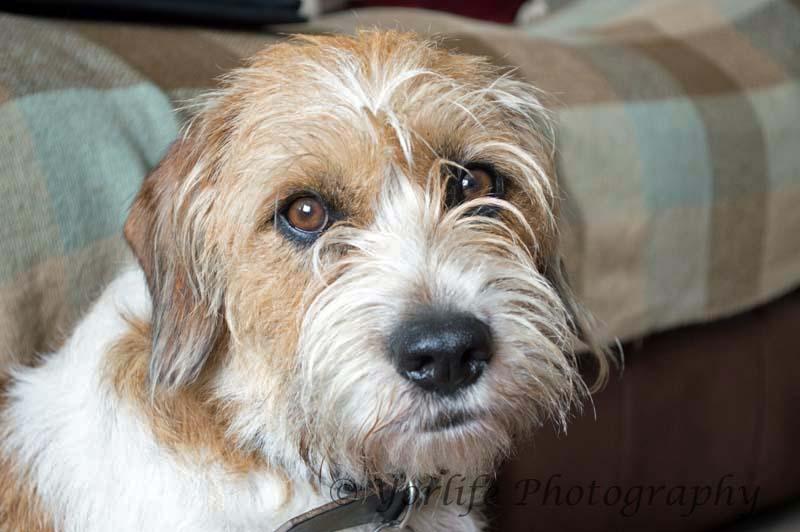 Beagle Terrier X -1