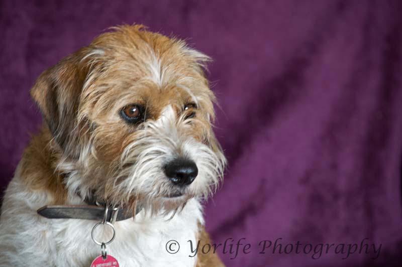 Beagle Terrier X -4