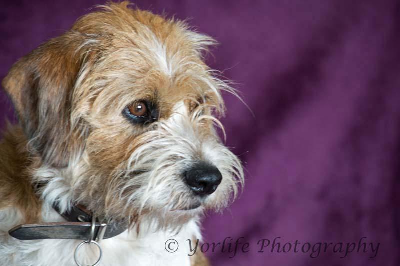 Beagle Terrier X -5