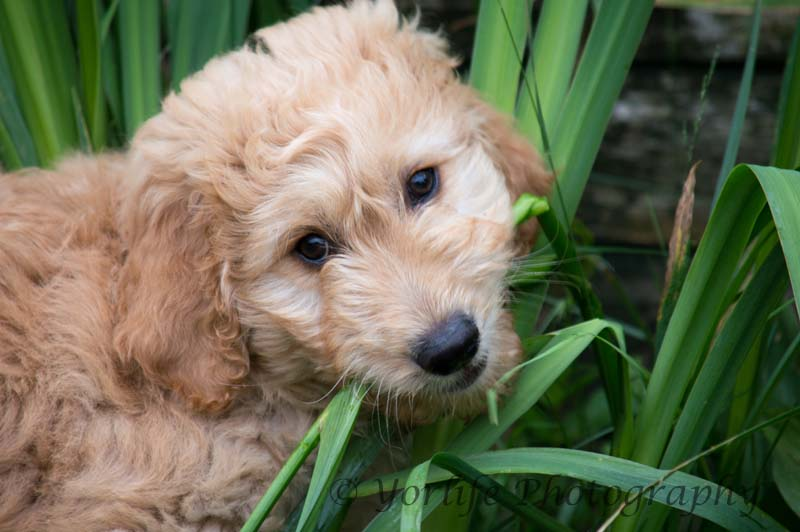 Goldendoodle Puppy-1