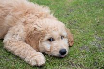 Goldendoodle Puppy-2