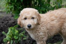 Goldendoodle Puppy-3