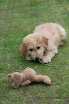 Goldendoodle Puppy-4