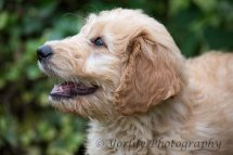 Goldendoodle Puppy-5