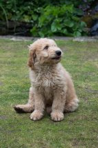 Goldendoodle Puppy-6