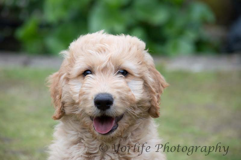 Goldendoodle Puppy-7