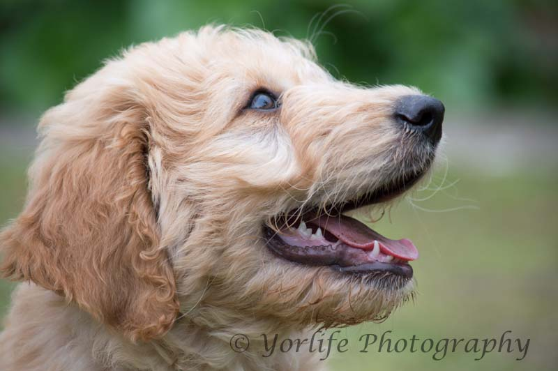 Goldendoodle Puppy-8