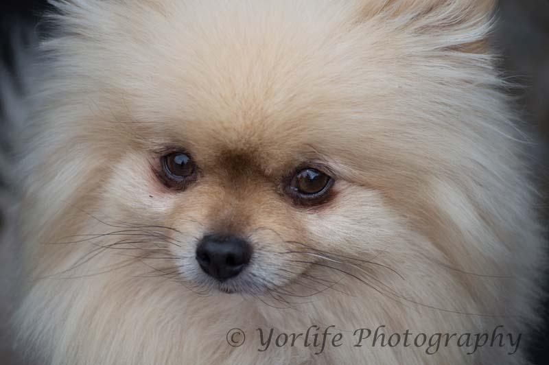 Pomeranian -1