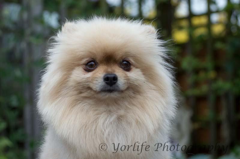 Pomeranian -10