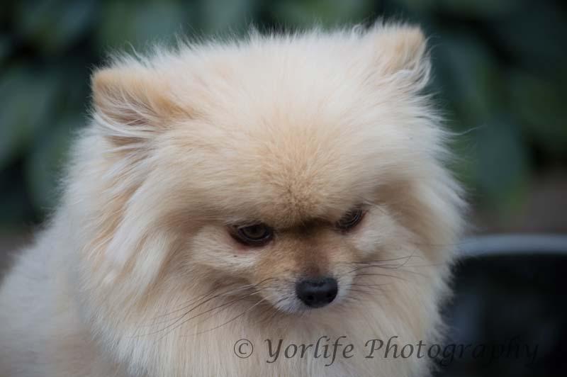 Pomeranian -2