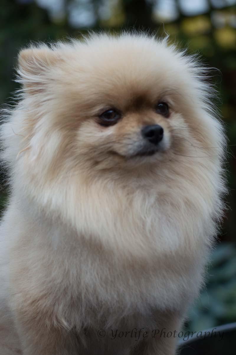 Pomeranian -4