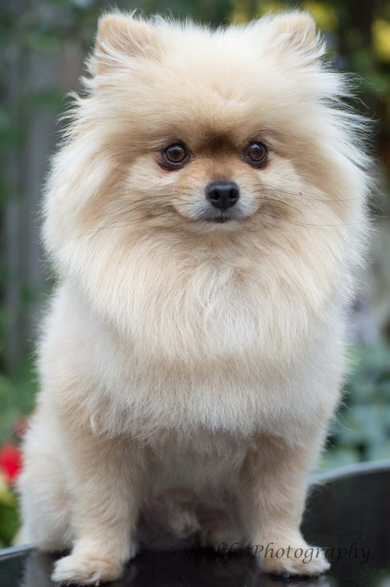 Pomeranian -5
