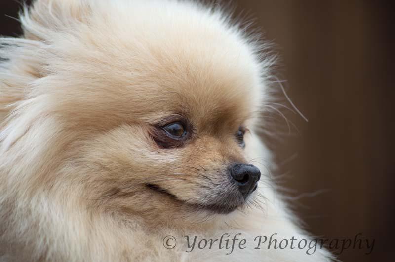 Pomeranian -7