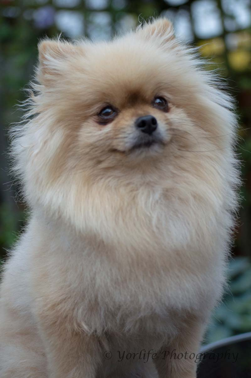 Pomeranian -8
