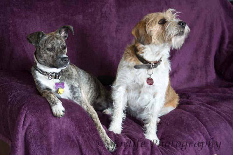 Whippet X & Beagle X -3