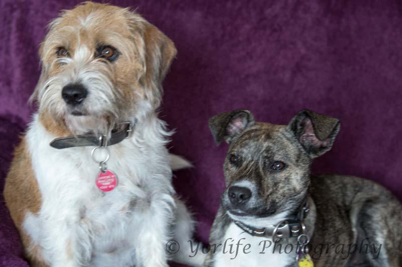 Whippet X & Beagle X -4